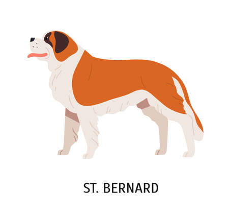 St Bernard. Cute lovely large mountain rescue dog isolated on white background. Adorable funny purebred domestic animal or pet. Breed standard. Colorful vector illustration in flat cartoon style Ilustração