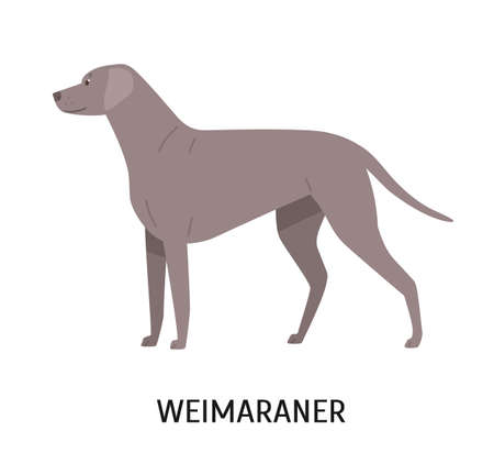 Weimaraner. Stunning cute dog of hunting breed or gundog isolated on white background. Funny adorable purebred domestic animal or pet with short-haired coat. Flat cartoon vector illustration.