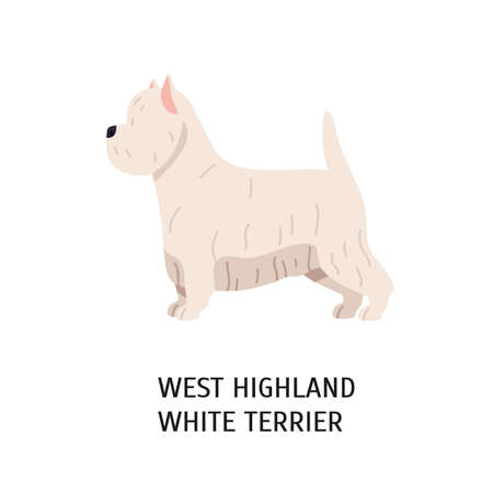 West Highland White Terrier or Westie. Lovely funny dog of working breed isolated on white background. Fluffy adorable purebred domestic animal. Colorful vector illustration in flat cartoon style