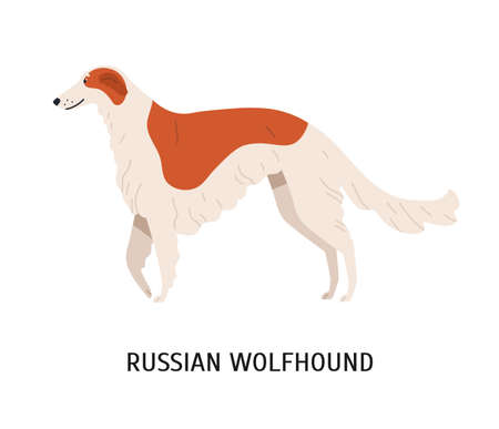 Russian wolfhound or Borzoi. Stunning lovely cute dog or sighthound isolated on white background. Gorgeous purebred domestic animal or pet of hunting breed. Flat cartoon colorful vector illustration
