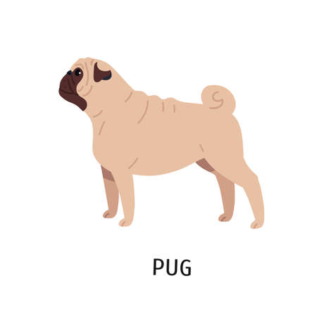 Pug or Dutch mastiff. Adorable funny purebred companion or toy dog isolated on white background. Gorgeous charming small domestic animal or pet. Colorful vector illustration in flat cartoon style.