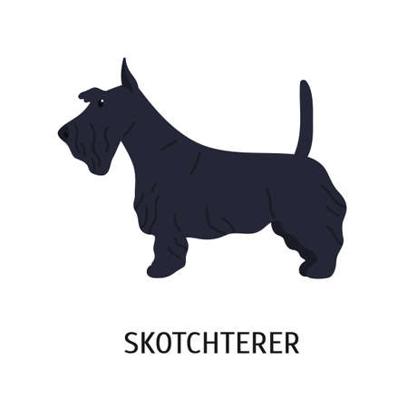 Scottish Terrier or Scottie. Adorable small dog of hunting breed, side view. Cute lovely little purebred pet animal isolated on white background. Colorful vector illustration in flat cartoon style. Illustration