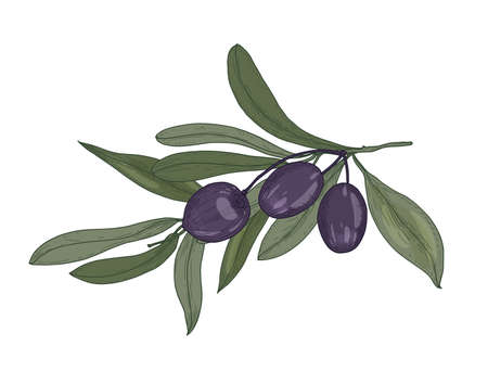 Elegant botanical drawing of olive or Olea Europaea tree branch with leaves and black fruits or drupes isolated on white background. Natural decorative element. Vector illustration in antique style