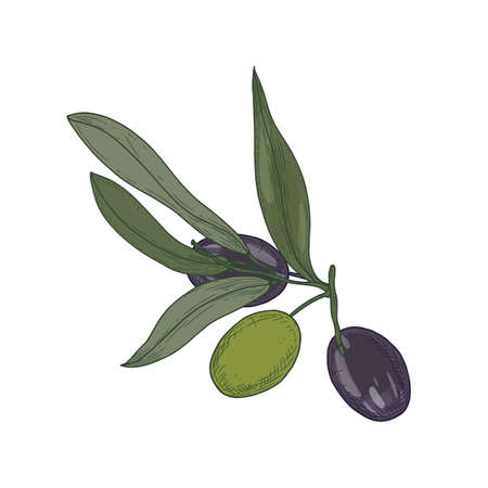 Olive or Olea Europaea tree branch or sprig with leaves and black and green fruits or drupes isolated on white background. Organic healthy fresh veggie food. Realistic hand drawn vector illustration