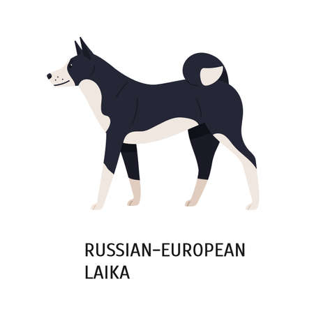 Russo-European Laika. Funny dog of hunting breed or gundog isolated on white background. Cute purebred domestic animal or pet with black and white coat. Vector illustration in flat cartoon style.