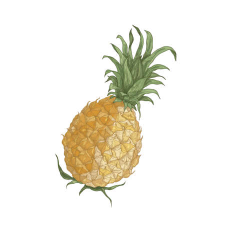 Elegant realistic drawing of whole fresh organic pineapple isolated on white background. Tasty exotic tropical juicy sweet wholesome fruit. Natural hand drawn vector illustration in vintage style