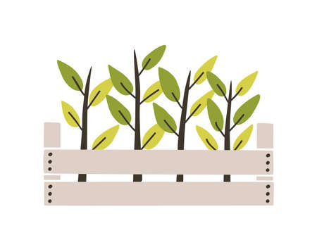 Green seedlings planted in wooden box. Young plants or sprouts growing in garden crate. Spring natural decorative design element. Colorful seasonal vector illustration in flat cartoon style