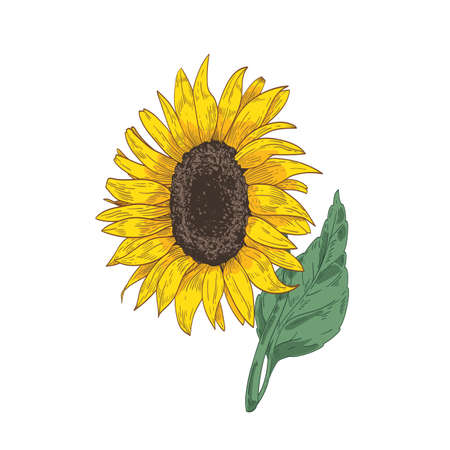 Detailed botanical drawing of sunflower head, stem and leaf. Beautiful flower or cultivated crop hand drawn on white background. Natural floral vector illustration in realistic vintage style.