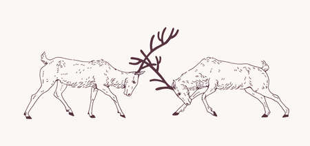 Pair of male deers fighting with antlers during the breeding season or rut hand drawn with contour lines on light background. Rivalry and aggression among animals. Monochrome vector illustration.