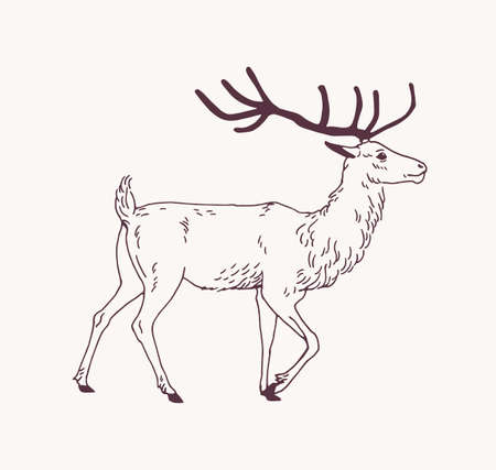 Elegant outline drawing of walking male deer, reindeer or stag with beautiful antlers. Gorgeous forest animal drawn with contour lines on light background. Side view. Monochrome vector illustration.