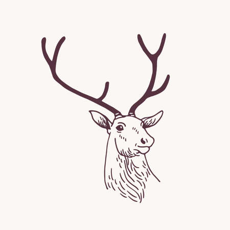 Beautiful drawing or sketch of head of male deer, reindeer or stag with elegant antlers. Forest animal drawn with contour lines on light background. Monochrome vector illustration in vintage style. Stock Illustratie