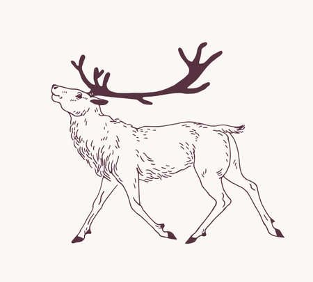Outline drawing of walking male deer, reindeer, hart or stag with gorgeous antlers. Graceful wild animal hand drawn with contour lines on light background. Forest fauna. Vector illustration for logo.