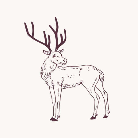 Beautiful sketch drawing of standing male deer, reindeer or stag with antlers. Graceful forest animal hand drawn with contour lines on light background. Side view. Monochrome vector illustration.