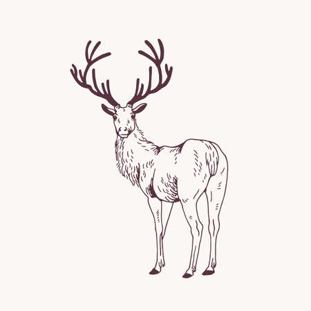 Elegant outline drawing of male deer or stag looking back. Gorgeous forest animal with antlers hand drawn with contour lines on light background. Monochrome vector illustration in engraving style. Stock Illustratie