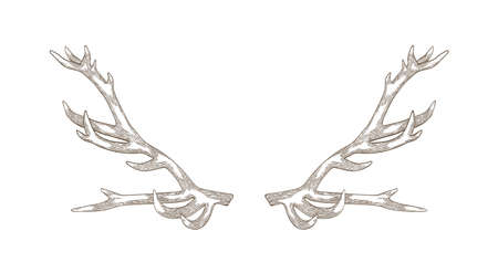 Detailed drawing of deer or reindeer antlers isolated on white background. Part of forest animals body for protection. Monochrome realistic vector illustration in elegant woodcut style for logotype.
