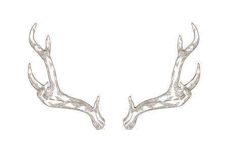 Monochrome drawing of deer, stag or hart antlers isolated on white background. Part of forest animals body. Elegant hand drawn realistic vector illustration in vintage engraving style for logotype. Stock Illustratie