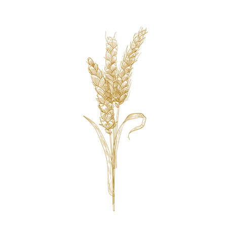 Bunch of wheat ears or sheaf of spikelets hand drawn with contour lines on white background. Cultivated cereal plant, grain or crop. Decorative design element. Elegant realistic vector illustration