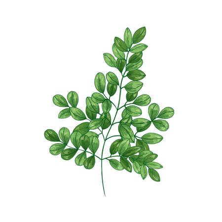 Natural realistic drawing of Miracle Tree or Moringa oleifera. Herb or herbaceous plant used in traditional medicine isolated on white background. Botanical vector illustration in vintage style