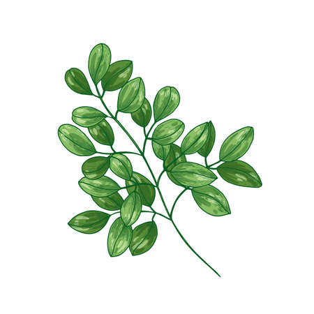 Elegant botanical drawing of Miracle Tree or Moringa oleifera. Tropical herbaceous plant used in phytotherapy isolated on white background. Natural vector illustration in vintage realistic style Imagens - 128183385