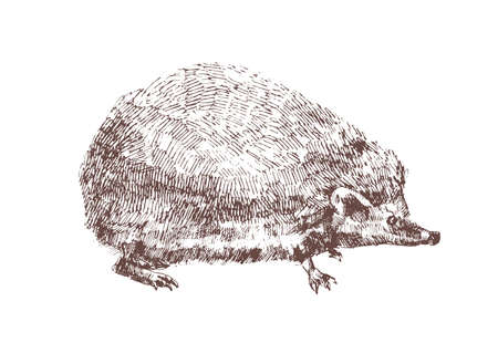 Adorable hedgehog hand drawn with contour lines on white background. Outline drawing of omnivorous nocturnal animal. Wild species of forest. Monochrome vector illustration in antique woodcut style