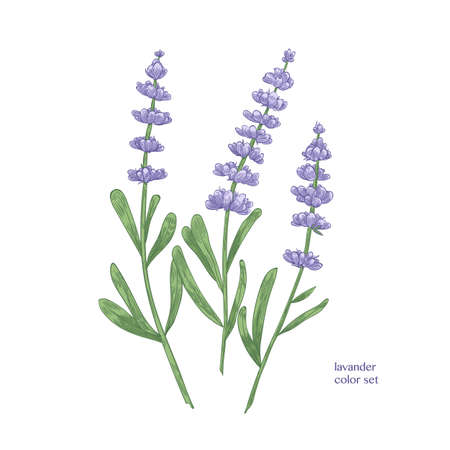 Elegant botanical drawing of lavender flowers and green leaves. Beautiful flowering plant hand drawn on white background. Aromatic herb used in culinary or aromatherapy. Realistic vector illustration
