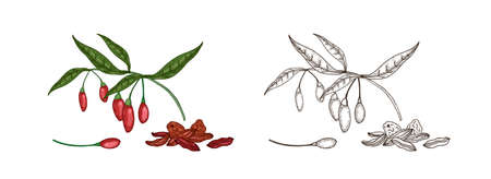 Bundle of colorful and monochrome drawings of fresh and dried goji berries. Natural organic superfood for healthy nutrition hand drawn on white background. Elegant realistic vector illustration