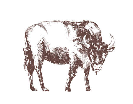 European bison hand drawn with contour lines on white background. Monochrome sketch drawing of bovine herbivorous animal, forest mammal species. Elegant illustration in vintage engraving style.