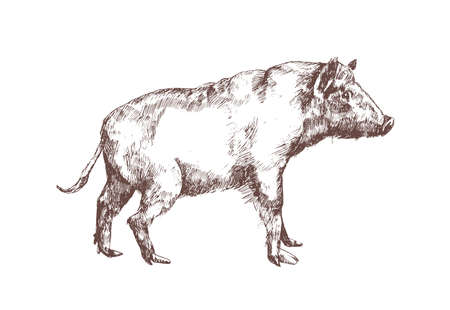 Wild boar, swine or pig hand drawn with contour lines on white background. Stylish monochrome drawing of suid animal, forest mammal species. Elegant illustration in vintage engraving style.