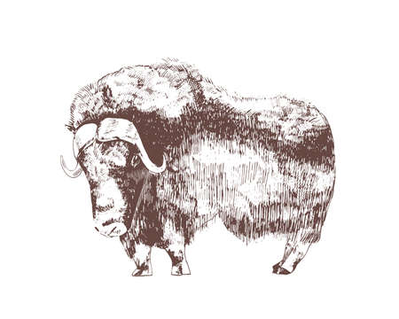Muskox hand drawn with contour lines on white background. Monochrome sketch drawing of herbivorous hoofed bovine animal, wild forest bovid. Elegant illustration in vintage etching style.