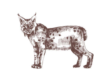 Lynx or bobcat hand drawn with contour lines on white background. Monochrome sketch drawing of feline carnivorous animal, wild forest cat. Elegant illustration in antique engraving style.