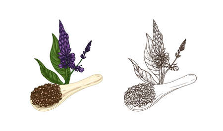 Bundle of colorful and monochrome drawings of Salvia hispanica plant and scoop of chia seeds. Organic superfood product and cultivated crop hand drawn on white background. Natural vector illustration Illustration