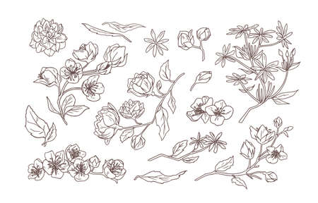 Bundle of elegant detailed natural drawings of jasmine and mock-orange blooming flowers and leaves hand drawn with contour line on white background. Botanical vector illustration in vintage style