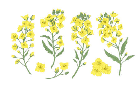 Bundle of elegant botanical drawings of blooming rapeseed, canola or mustard flowers. Set of crop or cultivated plant. Collection of natural design elements. Floral realistic vector illustration Ilustração