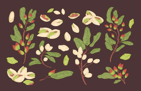 Bundle of elegant botanical drawings of pistachio tree branches, ripe fruits or nuts and leaves. Set of food crop, cultivated plant. Collection of natural design elements. Vector illustration. Ilustração Vetorial