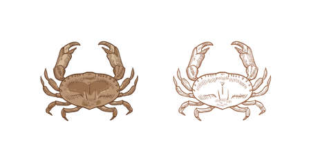 Bundle of realistic colored and monochrome drawings of dungeness crab. Aquatic animal or marine shellfish isolated on white background. Elegant hand drawn vector illustration in vintage style.