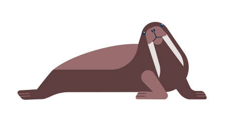 Walrus flat vector illustration. Nautical polar carnivorous animal isolated on white background. Large flippered marine mammal with sharp tusks cartoon drawing. Odobenus species side view.