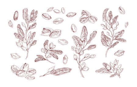 Pistachio plant hand drawn vector illustrations set. Growing tree sprout sketch. Tree branches with leaves isolated cliparts pack. Food natural harvest. Nut in shell vintage drawings collection.