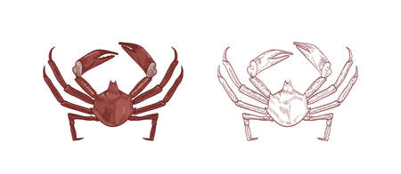 Sea crabs vector illustrations set. Colorful and monochrome hand drawn crustaceans on white background. Restaurant delicacy seafood. Northern kelp crab, aquatic creature with pincers design element.
