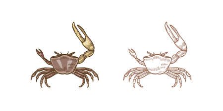 Fiddler crab vector illustrations set. Colorful and monochrome hand drawn crustaceans on white background. Restaurant seafood, delicacy food. Sea underwater animals with pincers design element.