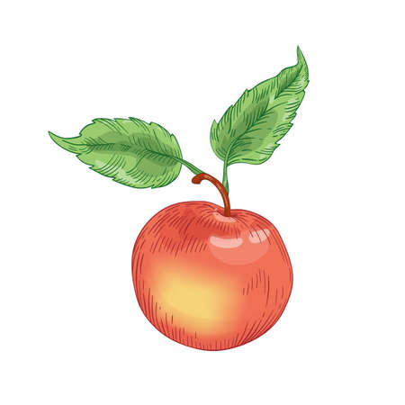 Red ripe apple with leaves hand drawn vector illustration. Whole raw fruit isolated on white background. Healthy nutrition, organic product. Fresh apple design element. Tasty juicy vitamin.