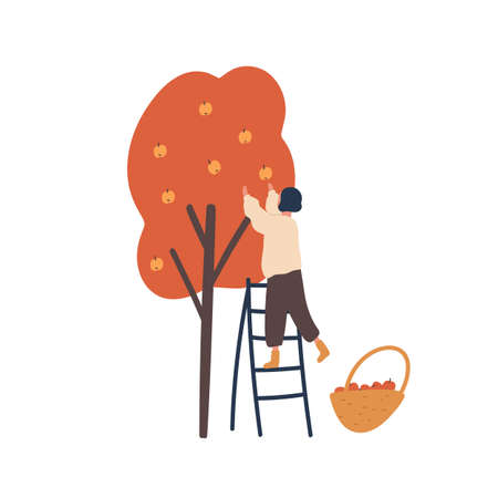 Girl gathering autumn harvest flat vector illustration. Woman standing on ladder and picking apples isolated design element. Female gardener, farmer cartoon character. Fall fruits crop, produce.