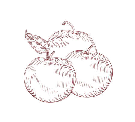 Juicy whole apples realistic vector illustration. Raw fruit with leaves isolated clip art on white background. Organic crop, eco farm product. Ripe apples detailed hand drawn design element. Ilustração