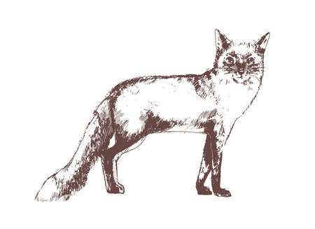 Red fox hand drawn with contour lines on white background. Beautiful realistic elegant drawing of forest omnivorous animal, wild mammal. Monochrome vector illustration in vintage engraving style