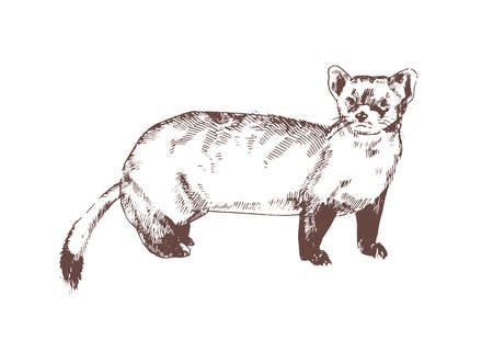 Pine marten hand drawn with contour lines on white background. Elegant detailed drawing of carnivorous animal. Wild forest species. Monochrome realistic vector illustration in antique etching style