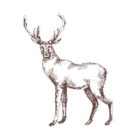 Red deer hand drawn with contour lines on white background. Elegant sketch drawing of wild forest animal with antlers, hoofed ruminant mammal. Monochrome vector illustration in vintage etching style