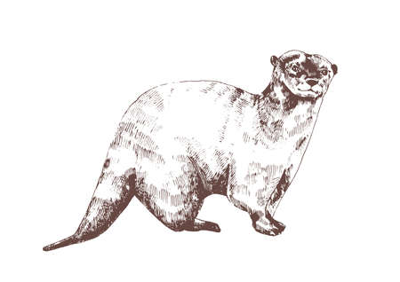 Eurasian otter hand drawn with contour lines on white background. Beautiful monochrome sketch drawing of wild semiaquatic carnivorous animal. Elegant vector illustration in antique engraving style.