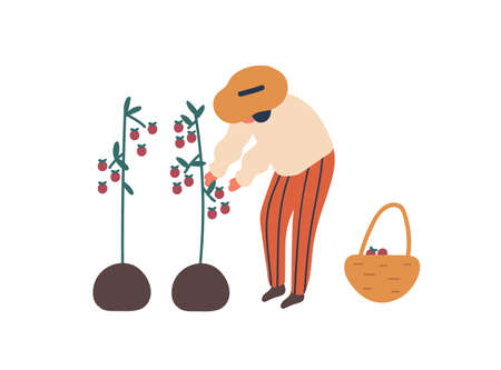 Young woman collecting tomatoes flat vector illustration. Female farmer with basket cartoon character. Lady harvesting ripe vegetables, natural food. Farming chore, agriculture, gardening concept.