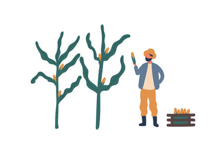 Farmer collecting corn flat vector illustration. Farm worker, rancher cartoon character. Seasonal crop harvest, natural food growing design element. Rural economy, farming chores, agriculture concept.