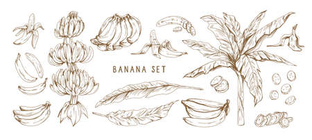 Banana hand drawn monochrome vector illustrations set. Banana bunches, palm tree leaves. Exotic and tropical fruit engraved drawings in vintage style. Ripe healthy fruit isolated design elements. Ilustração