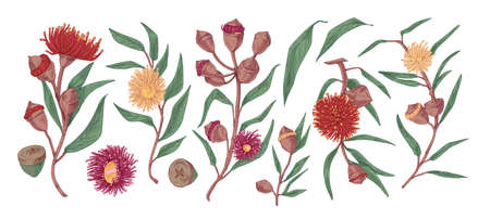 Blooming eucalyptus hand drawn vector illustration set. Gum-tree stems with leaves and flowers color realistic drawing. Exotic evergreen plant isolated on white background. Blossoming medicinal grass. Ilustração